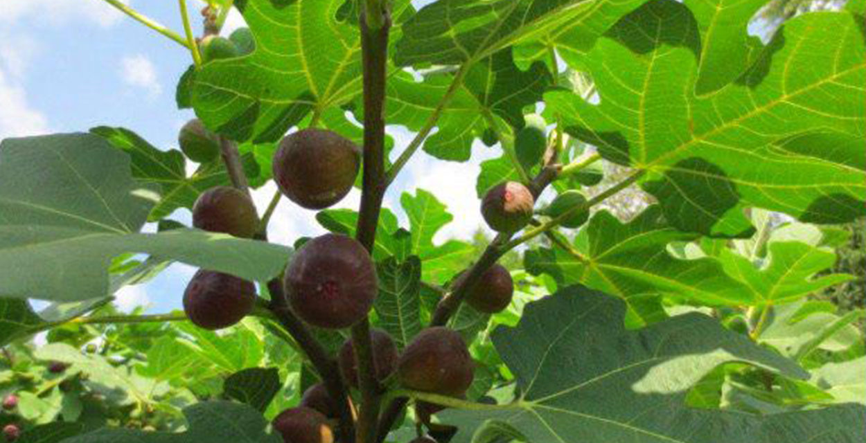Curse the Fig Tree in your life